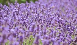 Kwitn?cy purpurowi lawenda kwiaty i zielona trawa w polach lub ??kach Kwiat w lecie Sztuki fotografia zdjęcia stock