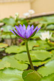 Kwitnący purpurowy lotos Zdjęcie Stock