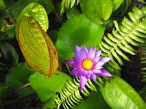 Kwitnący purpurowy lotos Zdjęcia Stock