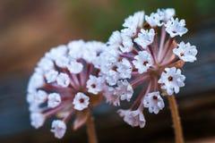 Kwitnący pustynni wildflowers Zdjęcia Stock