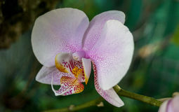 kwitnący storczykowy biel Zdjęcia Stock