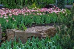 Kwitnący Tulipa Gesneriana Obraz Royalty Free