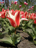 kwitnący tulipany Zdjęcie Stock