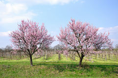 kwitnący vernal zdjęcia stock