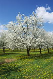 kwitnący vernal zdjęcie stock