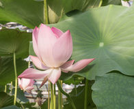 Kwitnący w stawie Lotus Zdjęcia Royalty Free