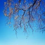 Kwitnący Wierzbowy drzewo - stonowana fotografia Wiosna w Jurmala - rocznika skutek Zdjęcie Royalty Free
