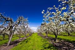 Kwitnący wiosna ogród Obraz Stock
