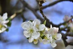 Kwitn?? jab?o? w wiosna czasie z pi?knymi kwiatami zdjęcie stock