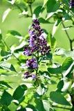 Kwitn?? lily drzewo w wio?nie obrazy royalty free