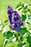 Kwitn?? lily drzewo w wio?nie zdjęcie royalty free
