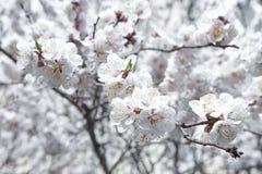 Kwitn?? t?o okwitni?? kwiat?w owocowego drzewa biel ju? target1204_1_ mie? hibernaci lodowego jeziora nie ro?liien tera?niejszo?c zdjęcia stock
