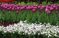 Kwitnący wiosna kwiatu łóżko z tulipanami i pansies Fotografia Royalty Free