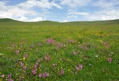 kwitnie łąkę dziką Zdjęcia Royalty Free