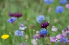 kwitnie łąkę dziką Zdjęcie Stock