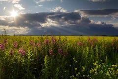 Kwitnie łąka Zdjęcie Royalty Free