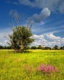 kwitnie łąkowego lato Zdjęcia Royalty Free