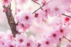 kwitnie śliwkową wiosna fotografia royalty free