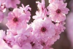 kwitnie śliwkową wiosna zdjęcia stock