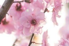 kwitnie śliwkową wiosna obrazy stock