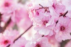 kwitnie śliwkową wiosna zdjęcie stock