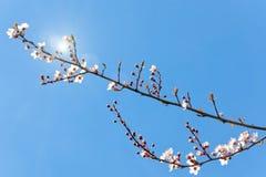 kwitnie śliwkowego drzewa obrazy stock