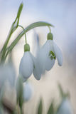 kwitnie śnieżyczki wiosna Fotografia Royalty Free