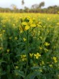 kwitnie śródpolnej musztardy kolor żółty Zdjęcia Stock