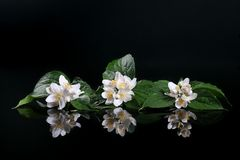 kwitnie świeżego jaśminu Zdjęcia Stock
