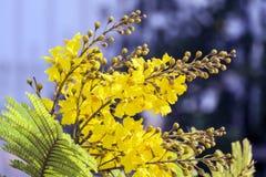 Kwitnie żółtego flametree Obrazy Stock
