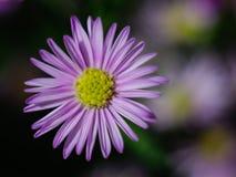 kwitnie ładne purpury Zdjęcia Stock