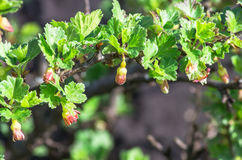 Kwitnie agrestowego kwitnienie na gałąź krzak Fotografia Royalty Free