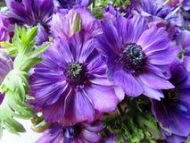 Kwitnie anemony Zdjęcia Stock