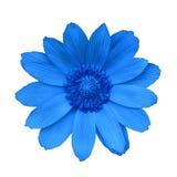 Kwitnie błękitnego Adonis, odizolowywającego na białym tle Zakończenie bell świątecznej element projektu lecznicza roślina Obraz Royalty Free