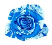 Kwitnie błękitnej biel róży odizolowywającej na białym tle Zakończenie bell świątecznej element projektu Zdjęcie Stock