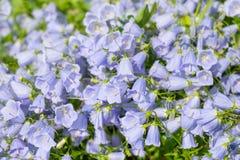 Kwitnie błękitnych dzwony fotografia stock
