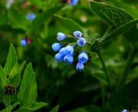 Kwitnie błękitnych dzwony ogród Obrazy Stock