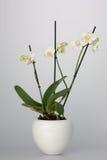 Biała orchidea w Białego kwiatu garnku obraz royalty free