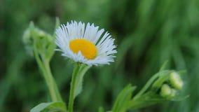 Kwitnie białe stokrotki zbiory wideo