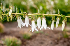 Kwitnie białych dzwony zdjęcie stock