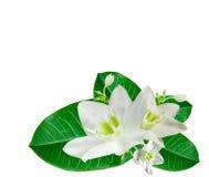 kwitnie biel fotografia stock