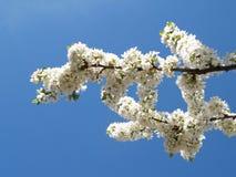 kwitnie biel Zdjęcia Royalty Free