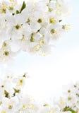 kwitnie biel Obrazy Royalty Free