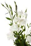 kwitnie biel Zdjęcie Royalty Free