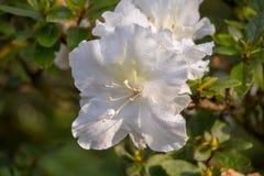 Kwitnie biel Cztery godziny w zimnej pogodzie fotografia royalty free