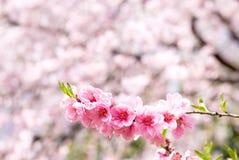kwitnie brzoskwinię Obraz Royalty Free