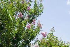 kwitnie bzu Piękna wiązka lily zbliżenie Lily kwiecenie Bez kwitnie w ogródzie Fotografia Royalty Free