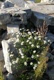 Kwitnie chamomile, kamienie, morze Zdjęcia Royalty Free