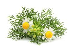 Kwitnie chamomiles, matricaria odizolowywający Obraz Stock