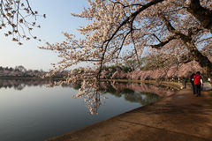 kwitnie czereśniową dc festiwalu wiosna Washington Obraz Royalty Free
